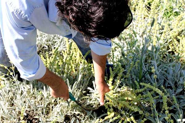 Έχουν ρημάξει τα αρωματικά φυτά από τα βουνά της Ηπείρου - Πρωινός ... f15091481c5